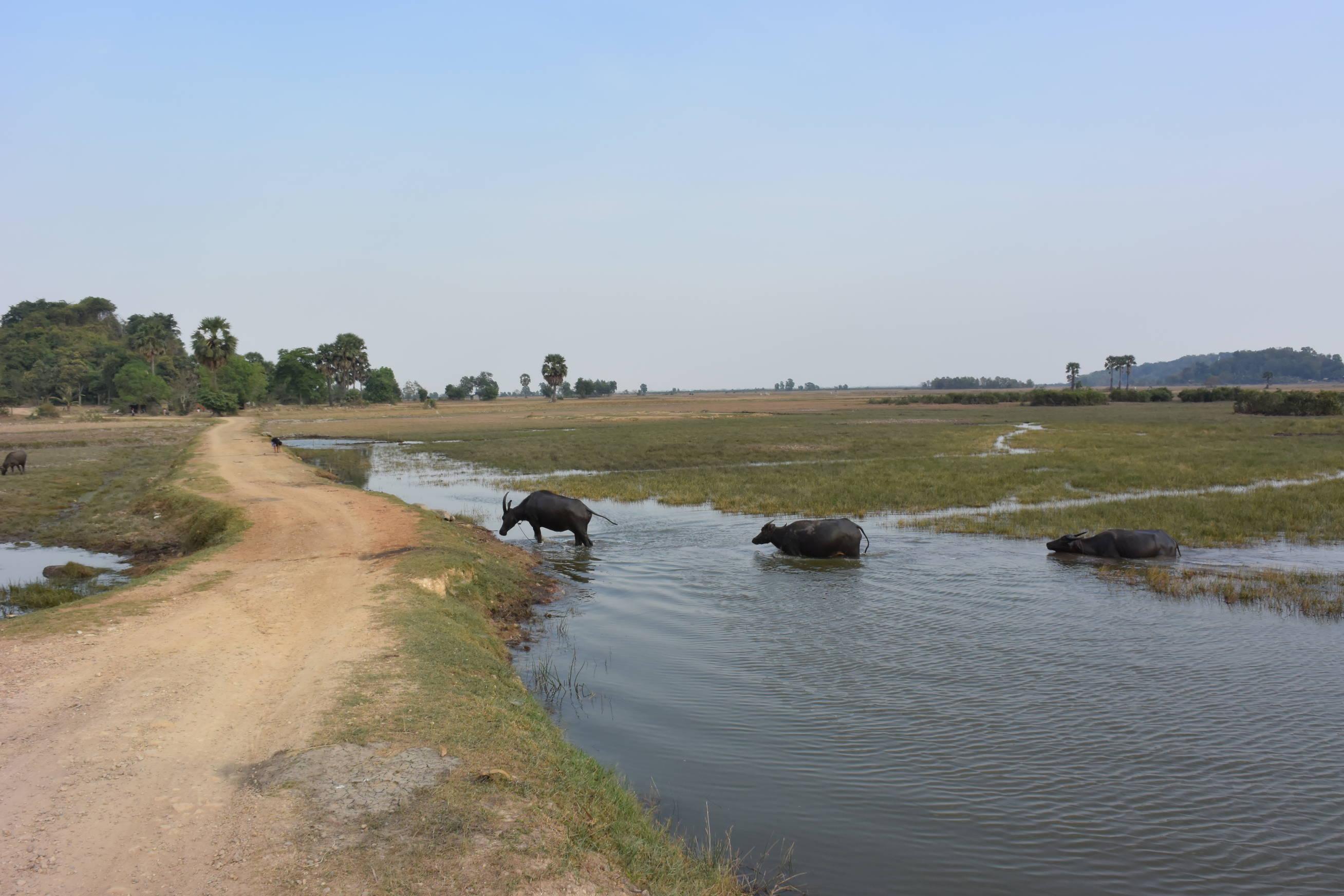 Buffles d'eau à Kep au Cambodge 2