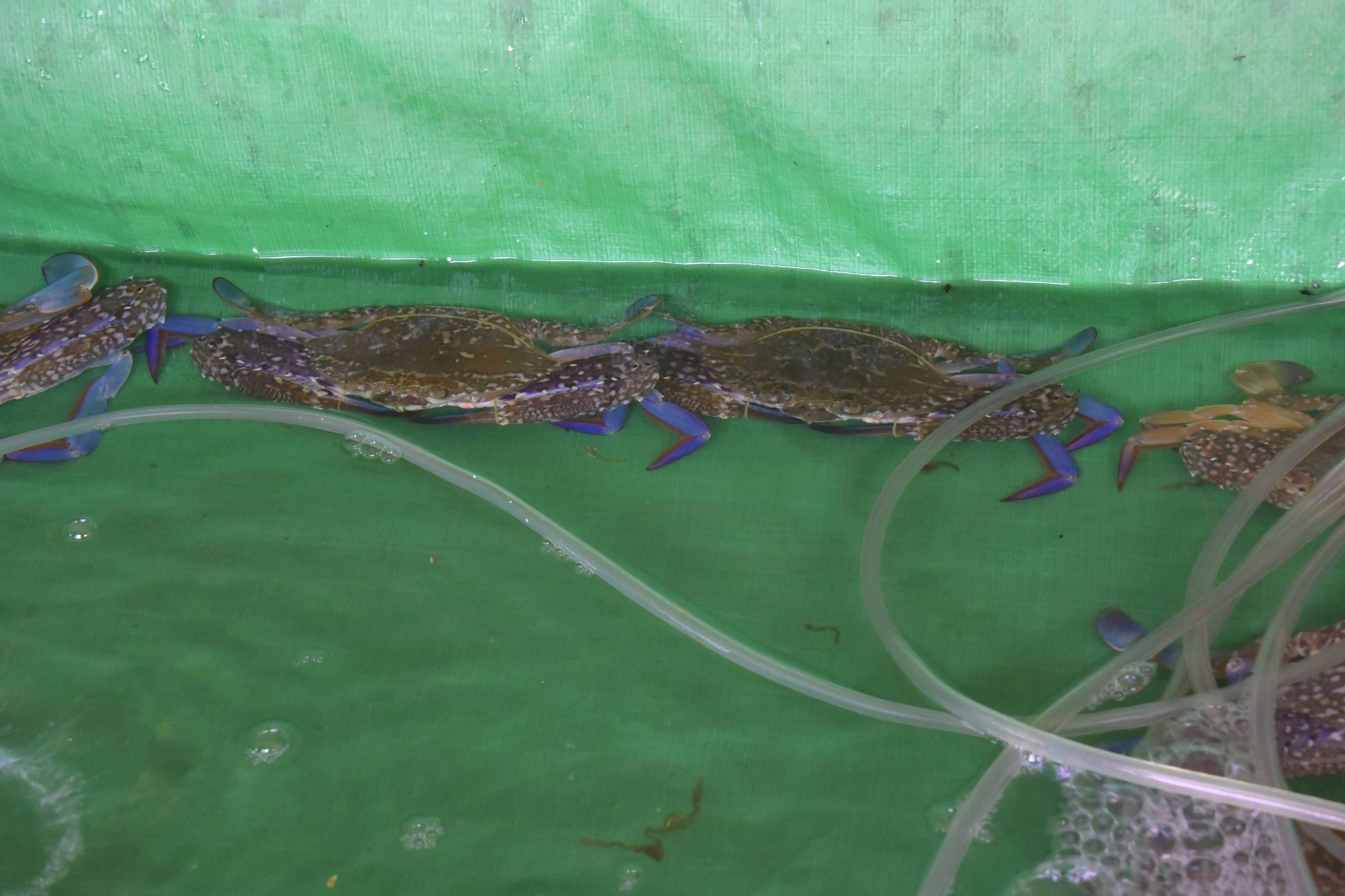 Crabe au poivre de Kampot à Kep au Cambodge 2